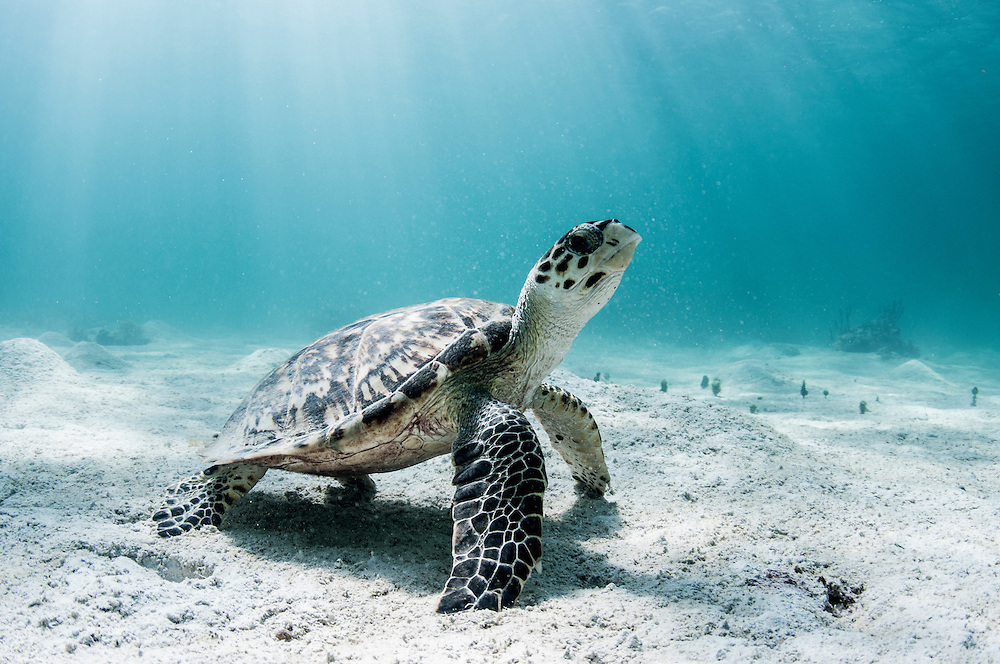 Hawksbill Sea turtle resting in the sand. Image made off Eleuthera, Bahamas.