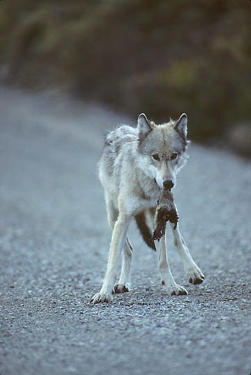 Gray Wolf, (Canis lupus) Picking up road killed artic ground squirrel from road in Denali National Park. Alaska.