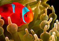 Male Spinecheek Anemonefish at Home.