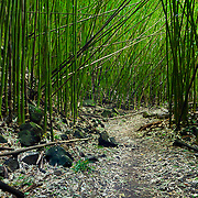 Path in a Good Size Bamboo Forest along the O'heo Gulch (or 7 Sacred Pools Trail) On Maui, HI.