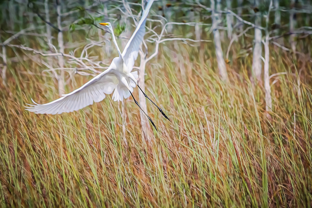 Great Egret, Everglades National Park