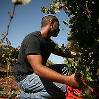 SETTLER'S BOUTIQUE WINE 2009...A Jewish settler picks Cabarnet grapes from a vineyard near Beit El during the harvest of Tanya boutique winery in the West Bank Jewish settlement of Ofra, October 2009.