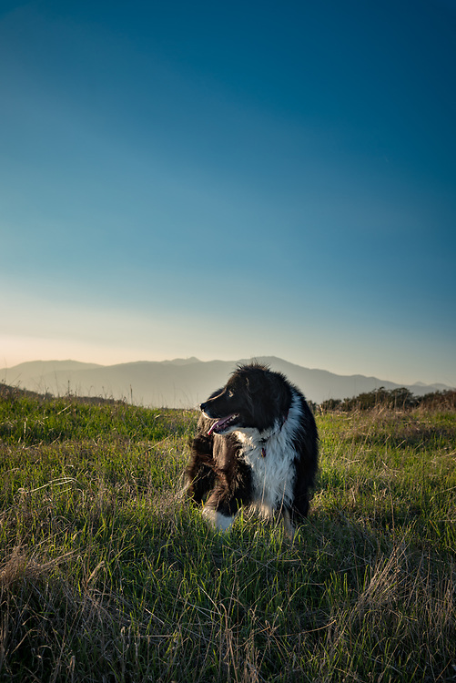 Black and white border collie mix dog standing in a field with mountains in the background.