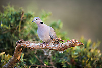 Cape Turtle Dove, Addo Elephant National Park, Eastern Cape, South Africa