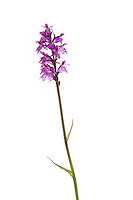 IFTE-NB-007898; Marsh orchid sp.; Austria; Dactlyorhiza; Europe; Austria; Tirol; vegetation flowering plant; vertical; high key; purple white; wild; woodland edge wetland marsh upland; 2008; July; summer; strobe backlight; Wild Wonders of Europe Naturpark Kaunergrat