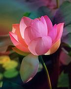 Pink Lotus<br /> &copy; Laurel Smith