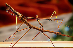 These Phasmatodeas were on the outside of my kitchen window for an entire day...The females are usually significantly larger than the males, may have evolved due to the fitness advantage accrued to males that can remain attached to the female, thereby blocking competitors, without severely impeding her movement.