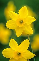 Narcissus 'Trevithian'