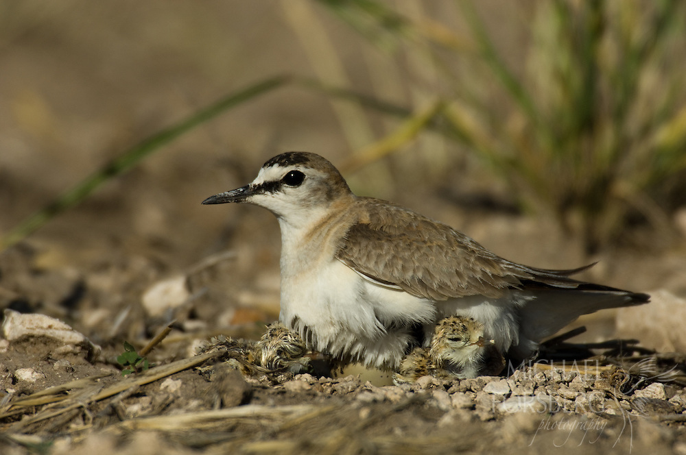 High Plains, Nebraska. Kimball county along the NE/CO border just north of Pawnee National Grassland.<br /> <br /> Mountain plover (federal endangered species list- IUCN Red List) on nest with eggs in fallow wheat field.<br /> <br /> (HATCHING SEQUENCE NEXT SEVERAL FRAMES)<br /> <br /> Since Mountain plovers prefer open or close to bare ground grasslands to nest, Rocky Mountain Bird Observatory (RMBO) pays farmers good money to locate nests in their fields before plowing. The nests are flagged and farmers plow around them.