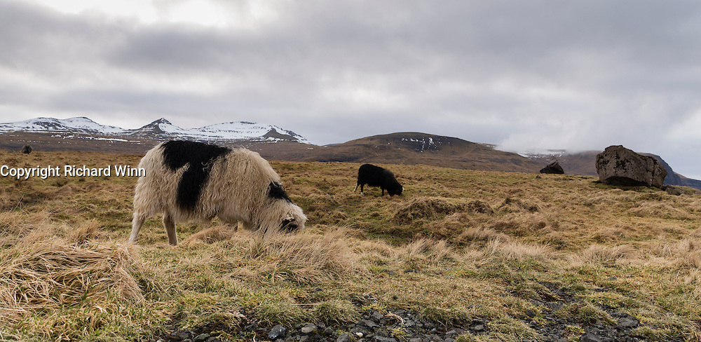 Sheep grazing near to Eiðisvatn, with the surrouding mountains in the background.