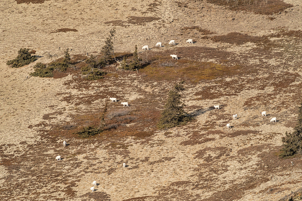 Herd of Dall Sheeo (Ovis dalli) foraging on Sheep Mountain in Kluane National Park in the Yukon Territory, Canada. Winter. Morning.