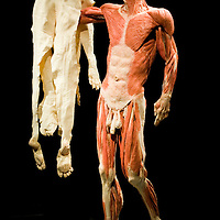Dr Gunther von Hagens returns with the latest instalment of the controversial blend of anatomy lesson, theatrical presentation and showbiz hype that is Body Worlds. This time, the focus is on life cycles and ageing, as  more than 200 plastinated human and animal specimens, including a 16 ft giraffe, show bodies living through time  growing, maturing, diyng....***Licence Fee's Apply To All Image Use***.XianPix Pictures  Agency  tel +44 (0) 845 050 6211 e-mail sales@xianpix.com www.xianpix.com