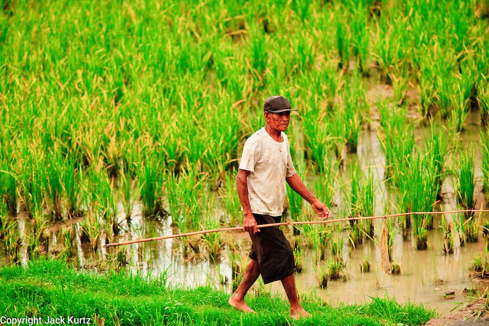 Apr. 21 - UBUD, BALI, INDONESIA: Farmers tend to their ducks in a rice paddy in Ubud, Bali. Many rice farmers in Bali keep ducks in their paddies.  Photo by Jack Kurtz/ZUMA Press