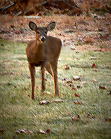 Inquisitive Doe at Dawn. Autumn Backyard Nature in New Jersey. Image taken with a Leica T camera and 18-56 mm lens (ISO 100, 56 mm, f/5.6, 1/6 sec).