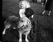 RDS Dog Show.17.03.1972..03.17.1972..17th March 1972..The annual Irish Kennel Club Dog Show took place today at the RDS (Royal Dublin Showgrounds).It coincided with the Kennel Clubs Golden Jubilee...Even the children were catered for at the show. 2 year old Michelle Doyle of Dublin is pictured with two prize winning dogs at the event, Golden retriever,Piats Oat is owned by Mr Finbarr O'Sullivan,Kilworth,Co Cork and Irish Setter,Poachers Friend owned by Mr Eugene Condon also of Kilworth,Co Cork.