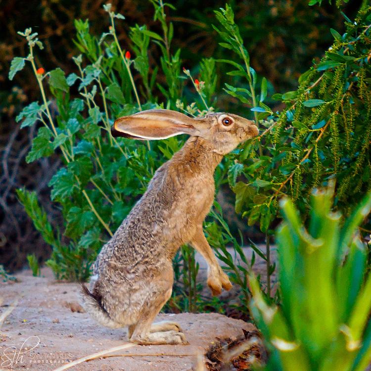 Jackrabbit upright - Veterans Oasis Park, Chandler, AZ