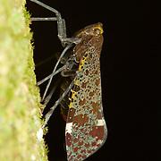 Penthicodes variegate lantern bug (Fulgoridae) in Kaeng Krachan National Park, Thailand.