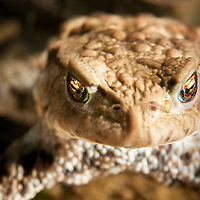 Common toad (Bufo bufo) or European toad, vanlig padda, padda, portrait<br /> Location: Billebjär, Skåne, Sweden