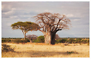 Baobab and Acacia, Tarangire National Park, Tanzania