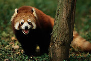 Lesser or Red Panda<br />