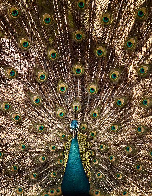 Beautifully dramatic and complex tail of a male peacock.
