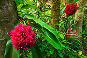 Tahitian ginger at Hawaii Tropical Botanical Garden, Hamakua Coast, The Big Island, Hawaii USA