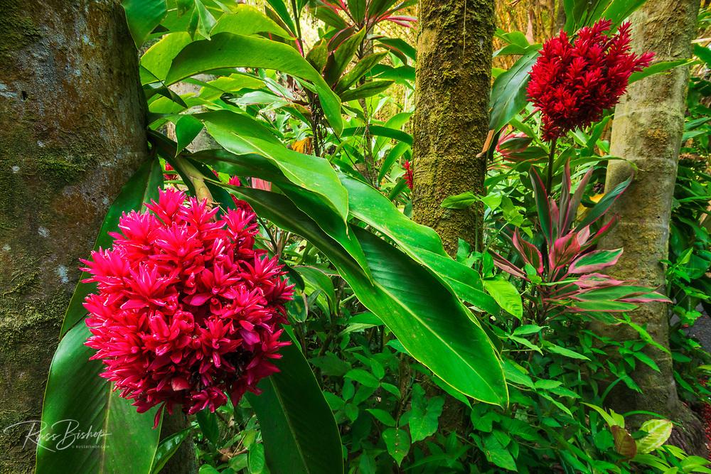 Tahitian ginger at Hawaii Tropical Botanical Garden, Hamakua Coast, The Big Island, Hawaii USA