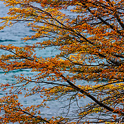 Fall colors on Southern beech along the banks of Laguna Azul in Torres del Paine National Park, Patagonia, Chile.
