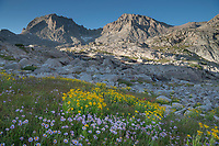 Field of wildflowers composed of purple Asters and yellow Arnica in Indian Basin, Fremont and Jackson Peaks are in the distance, Bridger Wilderness, Wind River Range wyoming
