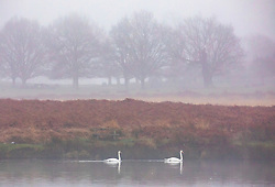 © Licensed to London News Pictures. 22/01/2020. London, UK. Swans on Pend Ponds in the dense fog in Richmond Park this morning. Another foggy start for Londoners in Richmond as forecasters predict lingering fog and milder weather for the week ahead. Photo credit: Alex Lentati/LNP
