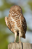 Burrowing owl hunting from a fence post, twists its head around to look behind, © 2011 David A. Ponton