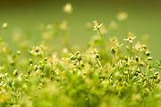Annual Pearlwort also Dwarf Pearlwort (Sagina apetala)