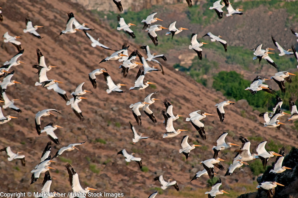 Snake River Canyon, White Pelicans flying in the Snake River Canyon near the city of Twin Falls in southern Idaho