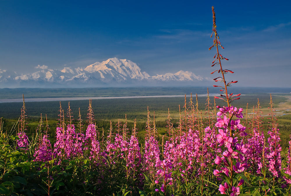 Landscape image of Denali and Mt. Foraker with fireweed (Epilobium angustifolium) in the foreground.  Part of the mountains is obscured by lingering smoke from the Kantishna River wildfire, one of several large wildfires burning in the state at this time.