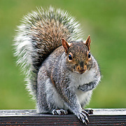 Eastern Gray Squirrel, Sciurus carolinensis, taking a bow or clutching its heart. Passaic, New Jersey, USA.