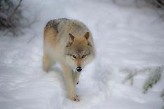 Grey Wolves of British Columbia