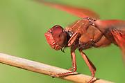 Firecracker Skimmer (Libellula saturata) is a native to western North America.
