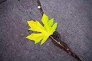 Fallen leaf near the Tacoma War Memorial - Tacoma, WA