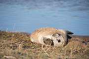 Donna Nook, Lincolnshire, UK – Nov 16: Newborn baby grey seal pup rolling about in the grass on 16 Nov 2016 at Donna Nook Seal Sanctuary, Lincolnshire Wildlife Trust