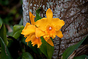 Orchid, Tropical Gardens of Maui, Iao Valley, Maui, Hawaii