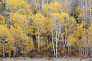 Aspen Trees with fall color in Grand Teton National Park Wyoming
