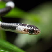 Davison's Bridle Snake (Lycodon davisonii) head close-up in Kaeng Krachan national park, Thailand