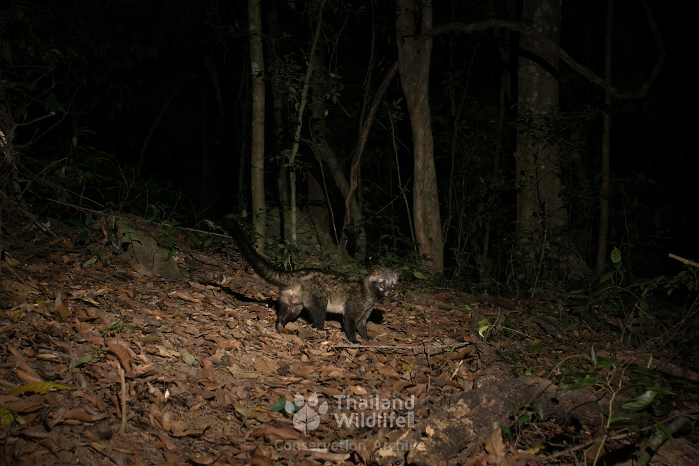 The Asian palm civet (Paradoxurus hermaphroditus) is a small viverrid native to South and Southeast Asia. Photographed here n a Kaeng Krachan National Park.