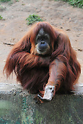 Orangutan, Pongo pygmaeus Begging