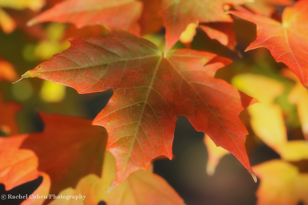 &quot;As the Maple Turns&quot; <br />