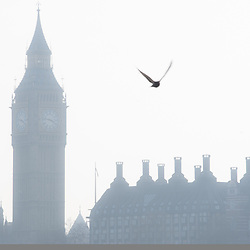 A bird flies by the Big Ben tower in Westminster, London on a foggy morning