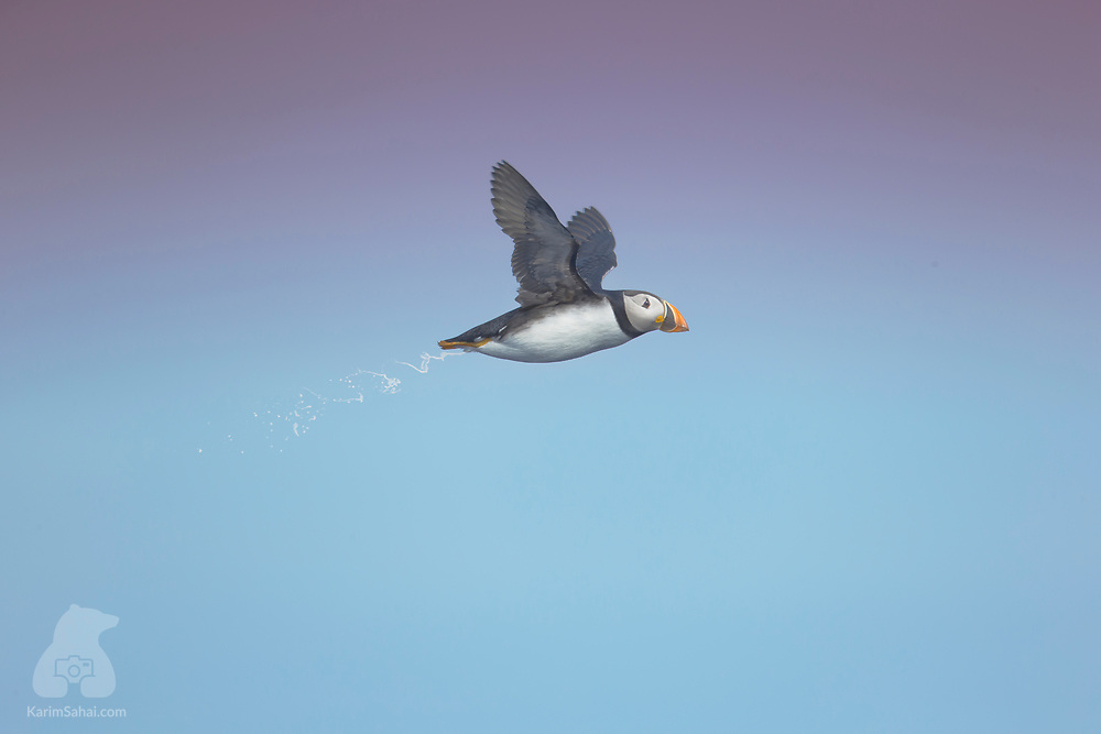 A puffin (Fratercula arctica) flies in the dusky polar sky, near the northern part of Spitsbergen, Svalbard