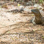 Blue Iguana at the Queen Elizabeth II Botanic Park. Grand Cayman Island.