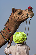 Decorated One-humped Arabian or Dromedary camel (Camelus dromedaries) at Pushkar camel and livestock fair.  Pushkar, Rajasthan. INDIA<br /> The camels arrive imaginatively sheared and tatooed to participate in the festivities. Since camels are not easy to distinguish - some traditional tattoos called Kheeng have been evolved. These help herders identify their camels with ease. Black henna or ink is normaly used but permanent marks are also made with the handles of large ladles heated on fire. These marks combined with Moondra-the decorative motives cut out of the hair give each camel its unique look. Added to these are personalized or regional fashions for the saddlery and trapping of his herd which remain the choice of each camel owner.  These long elaborate necks give plenty of space for necklaces and bells. The noses are often adorned with nose rings and the legs with bells.<br /> This fair takes place in the Hindu month of Kartik (October / November) ten days after Diwali (Festival of Lights). Pushkar has always been the the region's main market for herdsman and farmers buying and selling camels, horses, indigenous breeds of cattle and even elephants. Over the years this annual trading event has increased in volume to become one of the largest in Asia. Temporary tents and campsites suddenly appear to accomodate the thousands of pilgrims, villagers and tourists. Entertainers and contests abound and a festive funfair atmosphere prevails over Pushkar during the Mela's 2 week duration. Thousands of men come first with their camels, horses and cattle and camp on the dunes to transact business. 3 days before the full moon the women arrive beautifully attired. The 12 day fair culminates in a religious Hindu pilgrimage and reaches a crescendo on the night of the full moon (Purnima) when pilgrims take a dip in the holy lake of Pushkar.