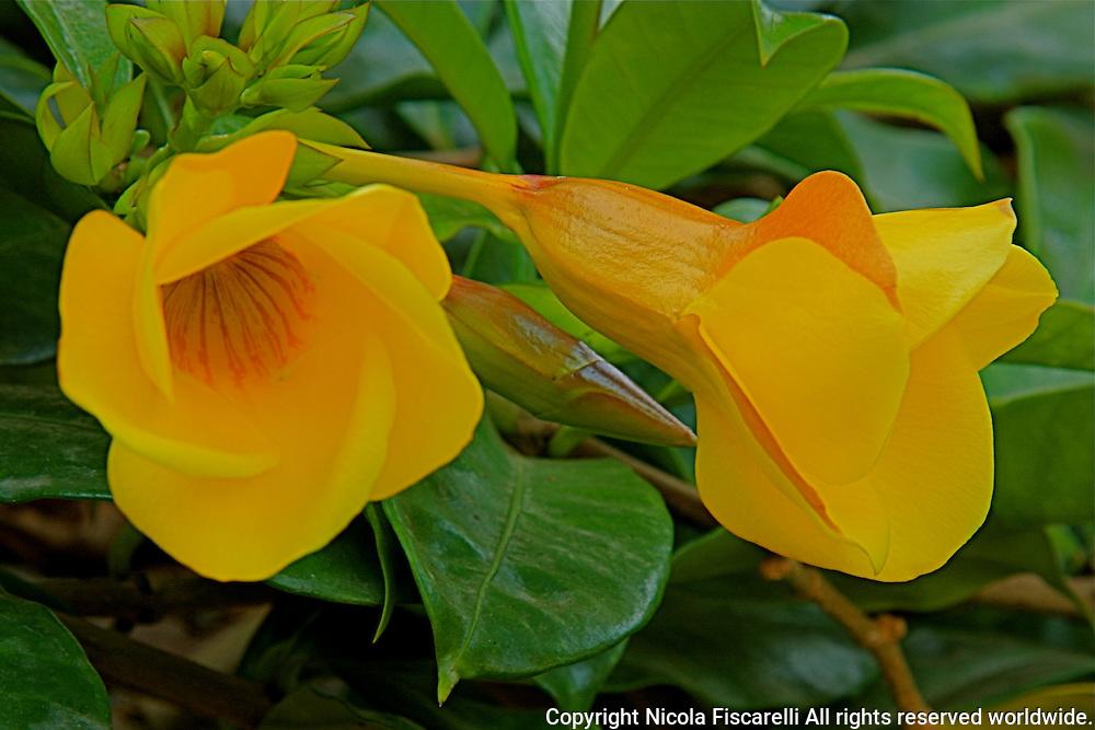 A close-up of the yellow Allamanda  flowers.
